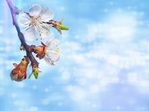 Όμορφο ρόδινο άνθος κερασιών σε ένα μπλε υπόβαθρο στοκ φωτογραφία