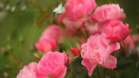 Όμορφο ρόδινο άνθος τριαντάφυλλων στη φυτεία με τριανταφυλλιές απόθεμα βίντεο