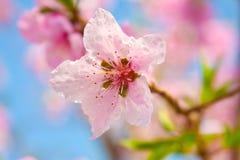 Ρόδινα λουλούδια βερίκοκων Στοκ εικόνα με δικαίωμα ελεύθερης χρήσης