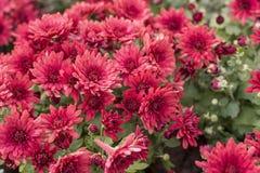 Όμορφο ρόδινο κόκκινο λουλούδι χρυσάνθεμων Στοκ Φωτογραφίες