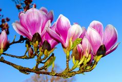 Όμορφο ρόδινο λουλούδι δέντρων Magnolia Στοκ Εικόνες