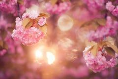 Όμορφο ρόδινο λουλούδι ανθών κερασιών στην πλήρη άνθιση Στοκ Φωτογραφία