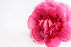 Όμορφο ρόδινο λουλούδι γαρίφαλων Στοκ Εικόνες