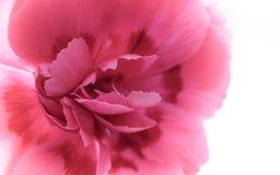 Όμορφο ρόδινο λουλούδι γαρίφαλων Στοκ Εικόνα