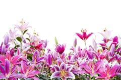 Όμορφο ρόδινο λουλούδι κρίνων που απομονώνεται στο λευκό Στοκ εικόνες με δικαίωμα ελεύθερης χρήσης