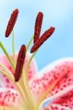 Όμορφο ρόδινο λουλούδι κρίνων Stargazer Στοκ Εικόνες