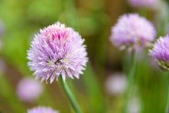 Όμορφο ρόδινο λουλούδι πίσω αυλών lila Στοκ Εικόνες