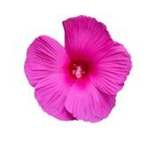 Όμορφο ρόδινο λουλούδι - που απομονώνεται στο λευκό Στοκ Εικόνες