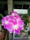 Όμορφο ρόδινο λουλούδι Ταϊλάνδη ορχιδεών Στοκ Φωτογραφία