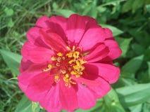 Όμορφο ρόδινο λουλούδι Ταϊλάνδη Στοκ εικόνα με δικαίωμα ελεύθερης χρήσης