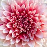 Όμορφο ρόδινο λουλούδι χρυσάνθεμων Στοκ Εικόνες