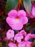 Όμορφο ρόδινο λουλούδι Στοκ Φωτογραφία