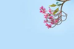 Όμορφο ρόδινο λουλούδι frangipani με το μπλε ουρανό, λουλούδια Plumeria Στοκ εικόνες με δικαίωμα ελεύθερης χρήσης