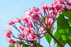 Όμορφο ρόδινο λουλούδι frangipani με το μπλε ουρανό, λουλούδια Plumeria Στοκ Φωτογραφία