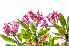 Όμορφο ρόδινο λουλούδι frangipani με το μπλε ουρανό, λουλούδια Plumeria Στοκ φωτογραφίες με δικαίωμα ελεύθερης χρήσης