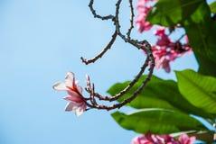 Όμορφο ρόδινο λουλούδι frangipani με το μπλε ουρανό Στοκ φωτογραφίες με δικαίωμα ελεύθερης χρήσης