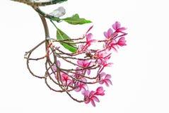 Όμορφο ρόδινο λουλούδι frangipani, λουλούδια Plumeria Στοκ Εικόνες