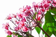 Όμορφο ρόδινο λουλούδι frangipani που απομονώνεται στο λευκό Στοκ Εικόνα
