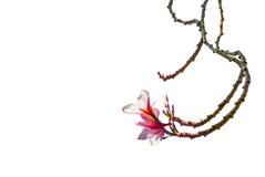 Όμορφο ρόδινο λουλούδι frangipani που απομονώνεται στο λευκό Στοκ Φωτογραφία