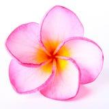Όμορφο ρόδινο λουλούδι plumeria Στοκ φωτογραφίες με δικαίωμα ελεύθερης χρήσης