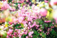 Όμορφο ρόδινο τσάι ροδαλών θάμνων Στοκ φωτογραφία με δικαίωμα ελεύθερης χρήσης