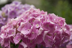 Όμορφο ρόδινο hortensia Στοκ φωτογραφία με δικαίωμα ελεύθερης χρήσης