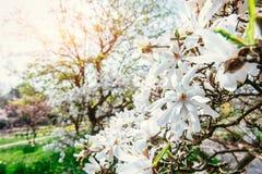 Όμορφο ρόδινο magnolia λουλουδιών άνοιξη σε έναν κλάδο δέντρων Στοκ εικόνα με δικαίωμα ελεύθερης χρήσης