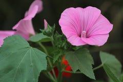 Όμορφο ρόδινο Mallow λουλούδι Στοκ εικόνα με δικαίωμα ελεύθερης χρήσης
