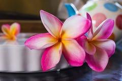 Όμορφο ρόδινο plumeria ή frangipani λουλουδιών Στοκ φωτογραφία με δικαίωμα ελεύθερης χρήσης