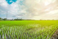 όμορφο ρύζι πεδίων στοκ εικόνες με δικαίωμα ελεύθερης χρήσης