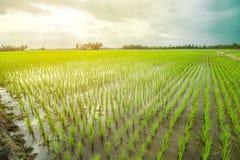 όμορφο ρύζι πεδίων στοκ εικόνες