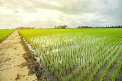 όμορφο ρύζι πεδίων στοκ φωτογραφία με δικαίωμα ελεύθερης χρήσης