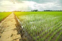 όμορφο ρύζι πεδίων στοκ φωτογραφία
