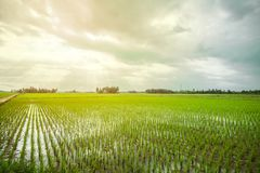 όμορφο ρύζι πεδίων στοκ εικόνα