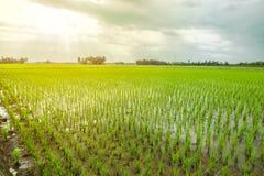 όμορφο ρύζι πεδίων στοκ φωτογραφίες