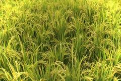 όμορφο ρύζι Στοκ εικόνα με δικαίωμα ελεύθερης χρήσης