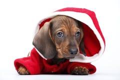 Όμορφο σκυλί αστεριών κουταβιών dachshund Στοκ φωτογραφία με δικαίωμα ελεύθερης χρήσης