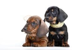 Όμορφο σκυλί αστεριών κουταβιών dachshund Στοκ Φωτογραφίες