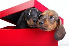 Όμορφο σκυλί αστεριών κουταβιών dachshund Στοκ εικόνα με δικαίωμα ελεύθερης χρήσης