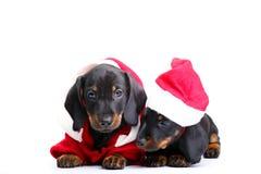Όμορφο σκυλί κουταβιών δύο dachshund Στοκ εικόνες με δικαίωμα ελεύθερης χρήσης