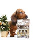 Όμορφο σκυλί κουταβιών dachshund Στοκ εικόνα με δικαίωμα ελεύθερης χρήσης