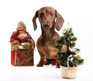 Όμορφο σκυλί κουταβιών dachshund Στοκ φωτογραφία με δικαίωμα ελεύθερης χρήσης