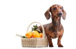 Όμορφο σκυλί κουταβιών dachshund Στοκ Εικόνες