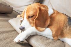 Όμορφο σκυλί λαγωνικών Στοκ φωτογραφία με δικαίωμα ελεύθερης χρήσης
