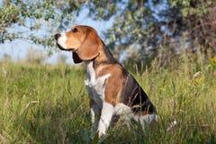 όμορφο σκυλί λαγωνικών Στοκ εικόνα με δικαίωμα ελεύθερης χρήσης