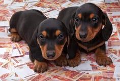 Όμορφο σκυλί μωρών κουταβιών Dachshund στην ποιότητα και τα χρήματα στούντιο Στοκ εικόνα με δικαίωμα ελεύθερης χρήσης