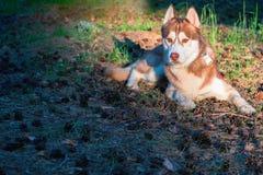 Όμορφο σκυλί που βρίσκεται στο έδαφος στο πάρκο Καφετιά σιβηρικά γεροδεμένα ψέματα στην πεσμένη βελόνα πεύκων στις θερμές ακτίνες Στοκ Εικόνες