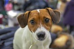 Όμορφο σκυλί τεριέ του Russell γρύλων τεριέ κουταβιών γρύλων russel Σκυλάκι τεριέ του Jack Russell Ευτυχές εύθυμο λευκό τεριέ σκυ στοκ εικόνες