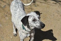 Όμορφο σκυλί Aruban Cunucu με τα διαφορετικά μάτια χρώματος Στοκ εικόνα με δικαίωμα ελεύθερης χρήσης