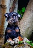 Όμορφο σκυλί griffon στο θερινό δάσος Στοκ Φωτογραφίες